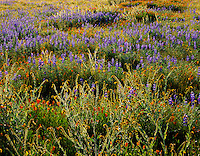 Carrizo Plain National Monument, CA<br /> Backlit spring flowers in the desert mornng sun