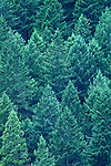 Evergreen forest close up on the Olympic Penninsula Washington State USA.
