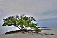 Tree at low tide, Anne's Beach, Islamorada, Florida Keys