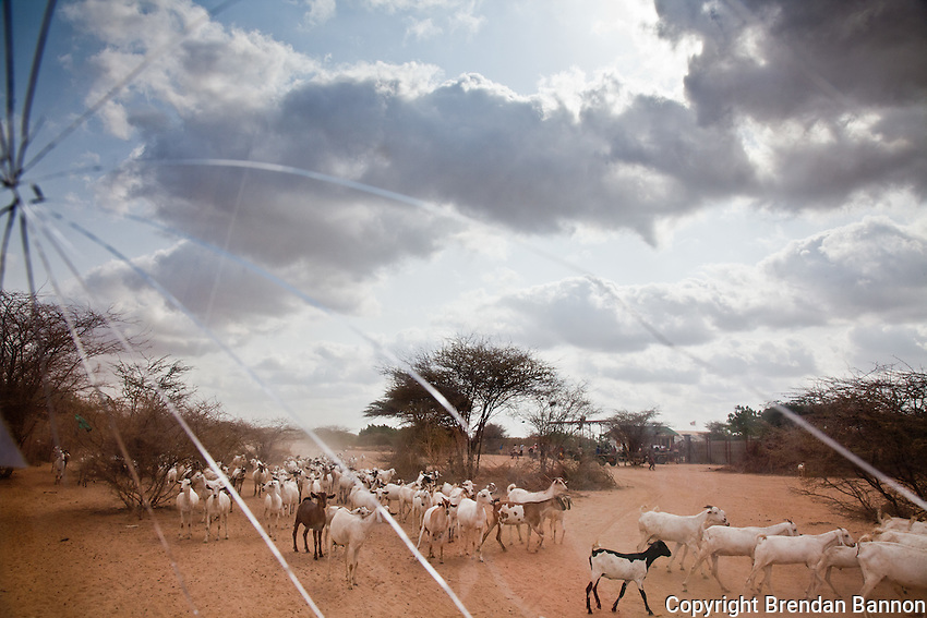 The nomadic herders of the Horn of Africa rely on livestock as  their sole source of  food, wealth and income. The worst drought in 60 years has decimated most herds and the animals that survive are, like their owners, in peril. Dadaab, Kenya. July 2011.