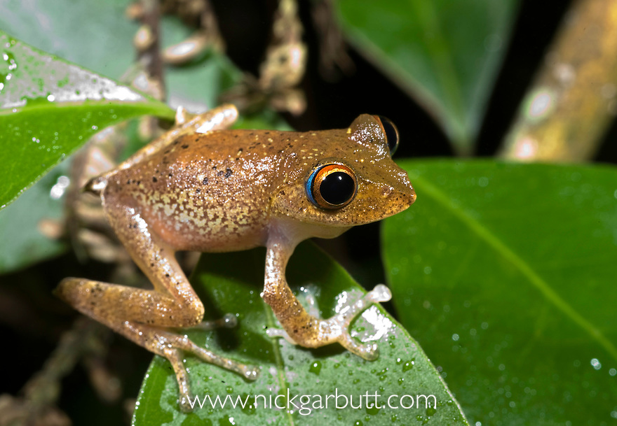 Tree frog (Boophis boehmei) Masoala NP, north east Madagascar.