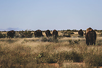 Bison or Bufalo within prairie and pasture in protected natural area. Rancho el Uno, a space dedicated to the conservation of this species in Janos, Chihuahua. This fishery was reintroduced by the organization The Nature Conservancy, TNC. Janos Biosphere Reserve<br />