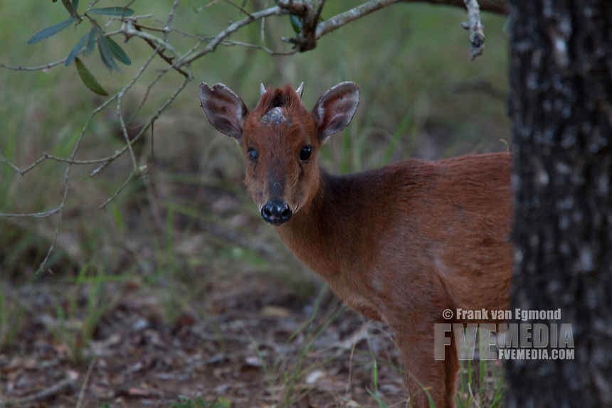 Red Forest Duiker (Cephalophus Natalensis)..Wounded. Also named Natal Duiker..May, Winter 2009..Ndumo Game Reserve, Kwazulu-Natal, South Africa.