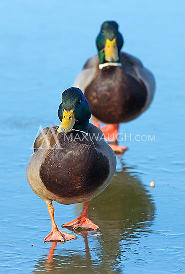 Mallard ducks are a common sight at Reifel Migratory Bird Sanctuary.