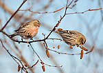Common Redpolls (Carduelis flammea), two (male L, female R) feeding on birch catkins in winter, New York, USA