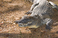 Morelet's Crocodile, Crocodylus moreletii Found in Mexico, Belzie and Guatemala.