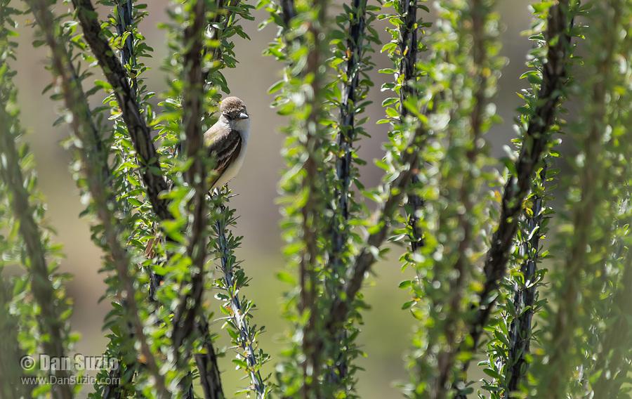 Cassin's Kingbird, Tyrannus vociferans, perches in an Ocotillo, Fouquieria splendens, in Sonoita Creek State Natural Area, Arizona