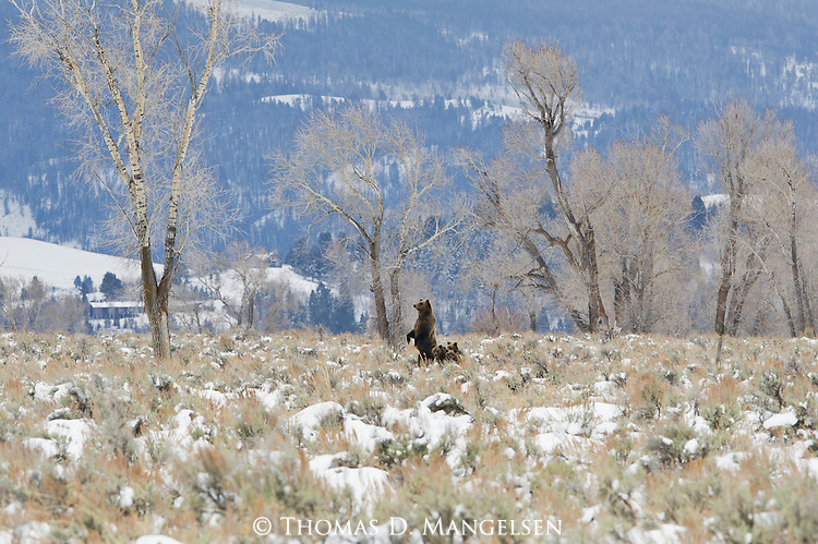 Grizzly 610 stands near a carcass as her cubs stay huddled close in Grand Teton National Park, Wyoming.