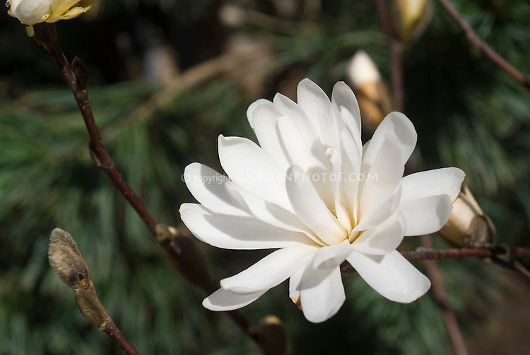 Magnolia stellata 'Centennial' in spring bloom, white flowering Star Magnolia tree