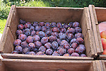 Wooden box of plums.