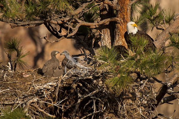 Bald Eagle Nest (Haliaeetus leucocephalus)--adult with month old eaglets in tall ponderosa pine tree.  Oregon.  May.