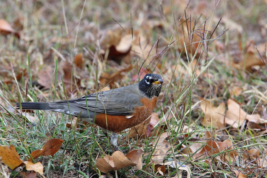 The quintessential early bird, American Robins are common sights on lawns across North America, where you often see them tugging earthworms out of the ground.