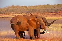 African Bull elephants mud bathing.  Africa.  (Loxodonta Africana)