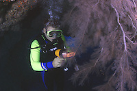 This diver (MR) with dive light is examing a colony of feathery black coral [Antipathes ulex]. Hawaii.