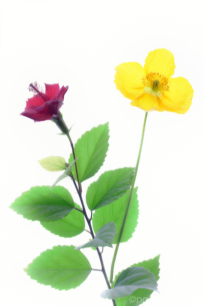 High key image of yellow poppy and red hibiscous