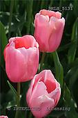 Luiz, FLOWERS, photos, BRLH5131,#F# Blumen, Natur, flores, naturaleza