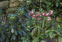 Helleborus hybridus spotted, pink with Daphne laureola Margaret Mathew in bloom