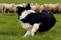 29/09/04 - IMPHY - NIEVRE - FRANCE - Border au travail, troupeau de brebis croisees Texel et Charolaise - Photo Jerome CHABANNE
