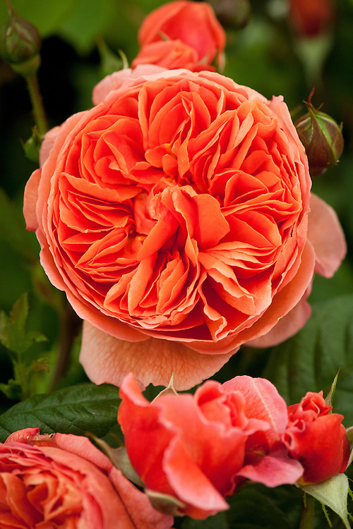Rosa Summer Song ('Austango'), early July. An English Leander hybrid shrub rose with strongly scented red-to-burnt-orange flowers. From David Austin, 2005.