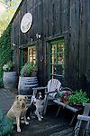 Pet dogs on patio, Maple Creek Winery Yorkville, Mendocino County, California