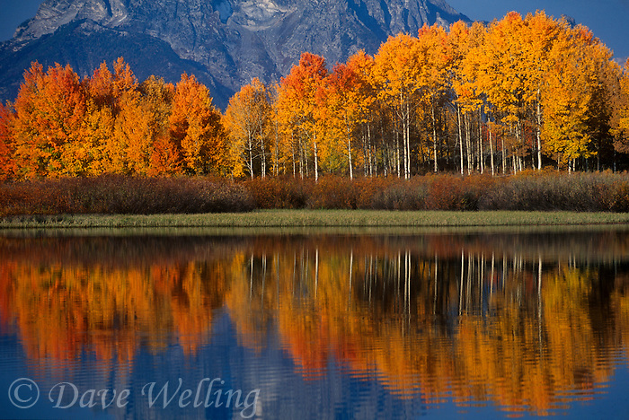 749450470 aspens populus tremuloides in brilliant oranges and yellows line the snake river with a reflection with the base of mount moran in the background in grand tetons national park wyoming