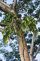 Swiss Cheese Plant {Monstera deliciosa} Osa Peninsula, Costa Rica. May.