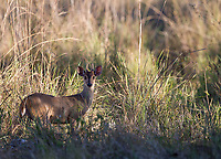 The gray brocket was one of three deer species seen during the trip.