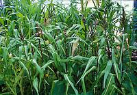 Sorghum nigrum broom corn growing crop