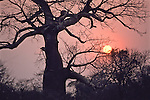 Baobab Tree At Sunset