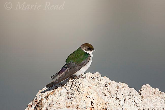 Violet-green Swallow (Tachycineta thalassina), female perched on tufa, Mono Lake, California, USA