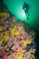TA0923-D. scuba diver (model released) alongside wall overgrown with yellow Sulphur Sponge (Myxilla lacunosa) and Strawberry Sea Anemones (Corynactis californica). Note large Ling Cod fish (Ophiodon elongatus) in lower right corner. British Columbia, Canada, Pacific Ocean.<br /> Photo Copyright &copy; Brandon Cole. All rights reserved worldwide.  www.brandoncole.com