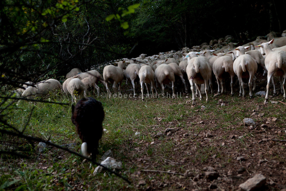 Isabelle Feynerol's sheepdog herds her flock of sheep back down to the farm from the slopes of La Montagne du Thiey above the hamlet of Canaux in the Alpes Maritimes above Grasse, France, 02 August 2013. Isabelle doesn't want to have 'Patous' [Great Pyrenees sheepdog] dogs to guard her flock; she finds them too difficult to control and potentially dangerous for hikers.