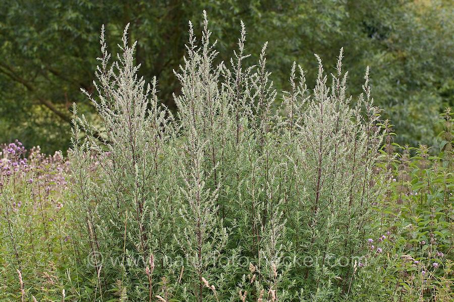 Gewöhnlicher Beifuß, Beifuss, Artemisia vulgaris, Mugwort