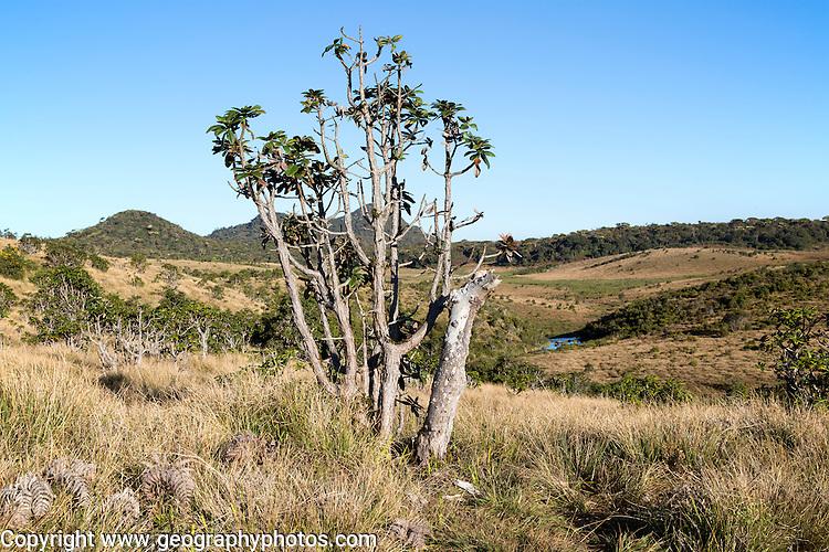Montane grassland and cloud forest environment Horton Plains national park, Sri Lanka, Asia - distant Adam's Peak