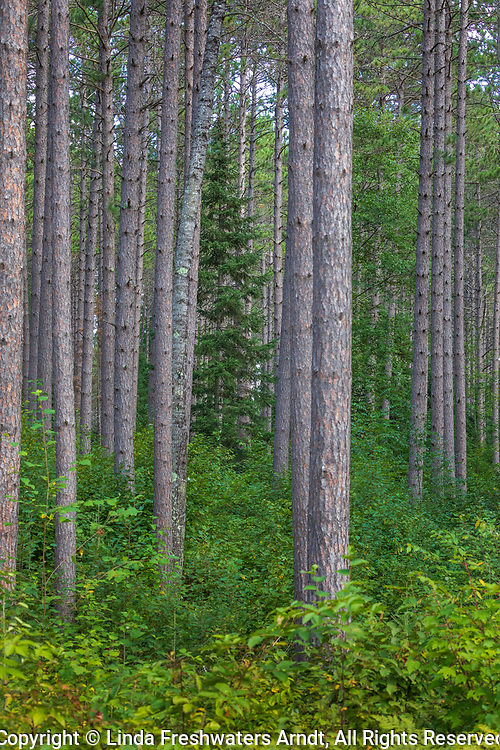 Plantation of red pines in the Chequamegon National Forest in northern Wisconsin.