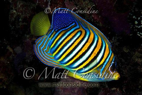 Regal Angel Fish, Yap Micronesia (Photo by Matt Considine - Images of Asia Collection) (Matt Considine)
