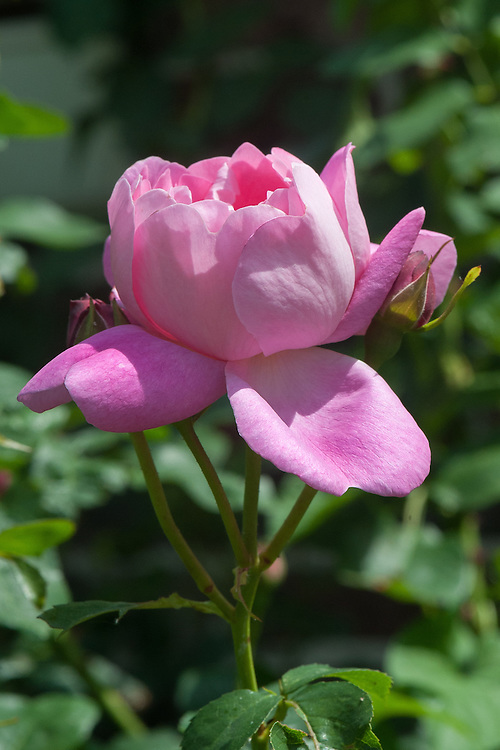 Rosa Corvedale ('Ausnetting'), late June. A modern pink shrub rose. From David Austin, 2001.