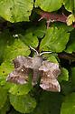 Poplar Hawkmoth (Laothoe populi) male, Devon, UK. June.
