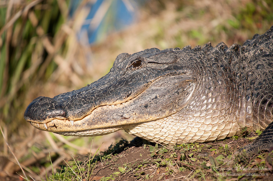 Columbia Ranch, Brazoria County, Damon, Texas; a tight head shot of an American Alligator (Alligator mississippiensis) sunning itself on the bank of a slough