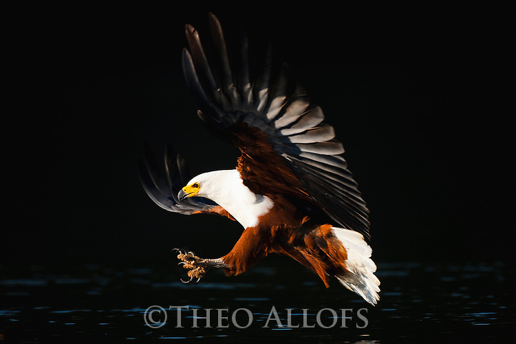 Botswana, Okavango Delta, African fish eagle in flight (Haliaeetus vocifer) trying to catch fish