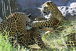 Jaguar cubs play. Captive