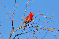 Cardinal male, Arizona, USA