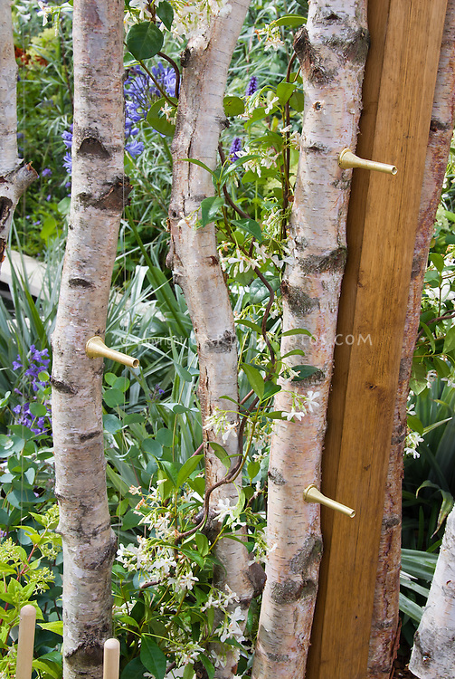 Betula tree bark with vine, birch tree branches used as poles for climbing vine Jasmine