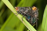 Totenfliege, Schmeißfliege, Friedhofsfliege, Paarung, Kopulation, Kopula, Cynomya mortuorum, Cynomya hirta, Bluebottle Blow Fly, Blowfly, Schmeißfliegen, Calliphoridae, blowflies