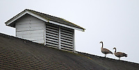 A pair of Canada geese perch on top of a barn at the Nisqually Wildlife Refuge.