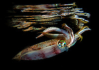 Bigfin reef squid (Sepioteuthis lessoniana), Marsa Nakari, southern Egypt<br /> A deadcalm night, and many squid hunting around the boat. A prefect day to shoot the squid mirror shot. Even if I hae the best conditions you can imagine, and the most cooperative squid in a&ouml;&ouml; Red Sea, it still took me 2 hours to get this shot.<br /> UW housing, double strobes, flashlight<br /> Sepioteuthis lessoniana, commonly known as the bigfin reef squids or oval squids, is a commercially important species of loliginid squid. They are one of the three currently recognized species belonging to the genus Sepioteuthis. Studies in 1993, however, have indicated that bigfin reef squids may comprise a cryptic species complex. The species is likely to include several very similar and closely related species.