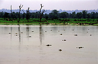 jacarés na Reserva Extrativista do Cuniã - Rondônia<br />dezembro de 2003