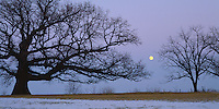 Putnam County, IL<br /> Illinois champion White Oak with winter moonrise