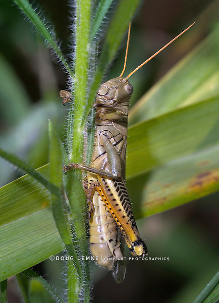 Probably a Differential Grasshopper, Melanoplus differentialis