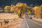 Colorful orange and golden cottonwood trees and grazing cattle along the road to Genoa in the Carson Valley, autumn